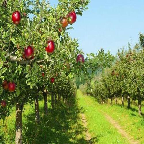 فروش باغچه سیب در سربندان