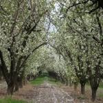 باغچه سیب در سربندان